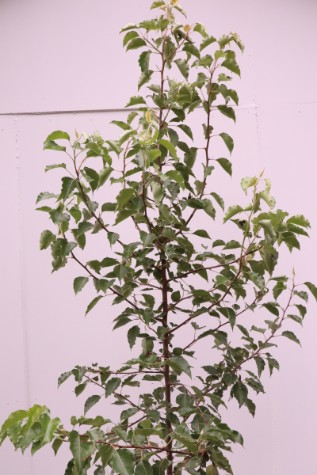 pyrus ussuriensis for sale