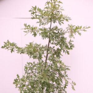 quercus palustris australia