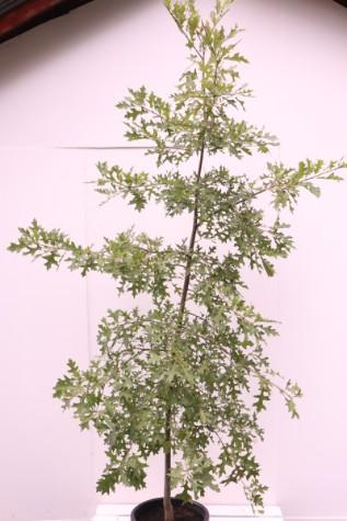 quercus palustris for sale