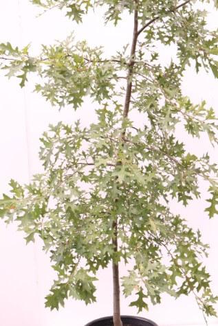 quercus palustris pin oak