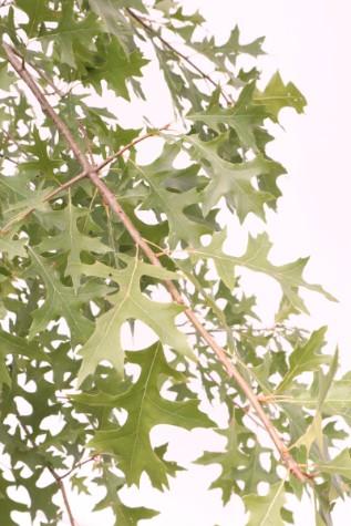 quercus palustris melbourne