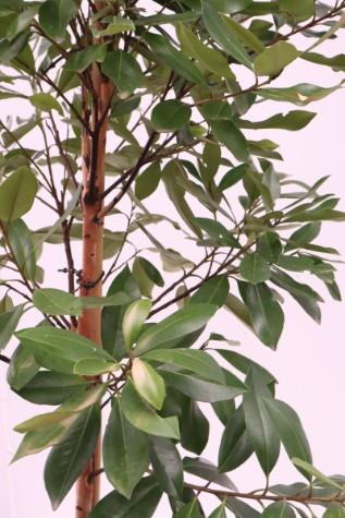tristaniopsis laurina luscious melbourne