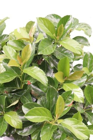 viburnum odoratissimum emerald luster