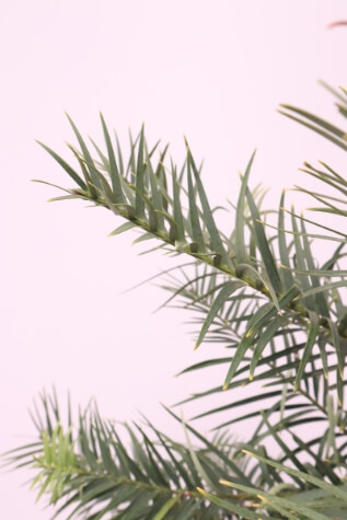 wollemia nobilis melbourne