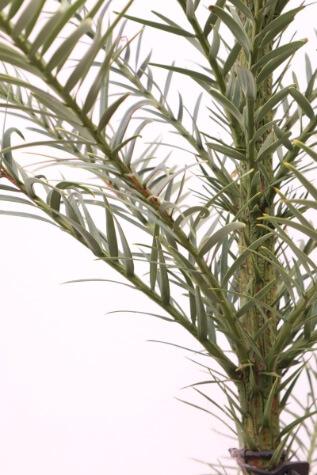 wollemia nobilis australia