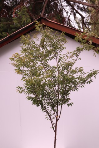 zelkova serrata tree