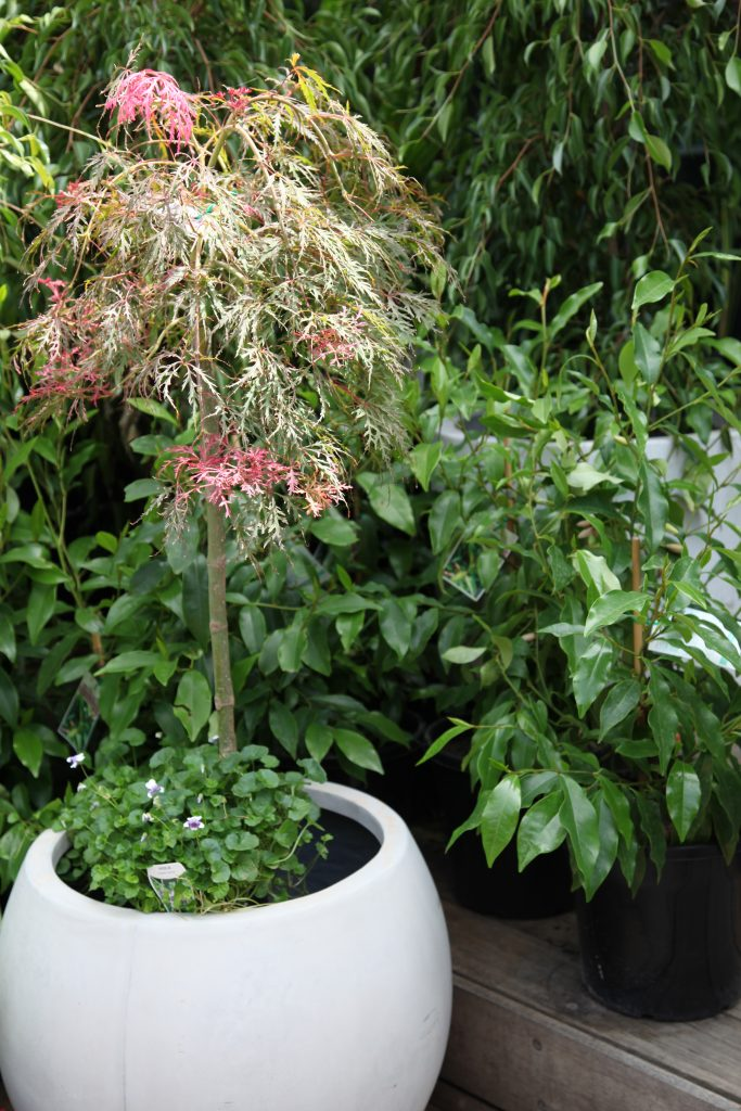 Japanese maple Trees for Pots