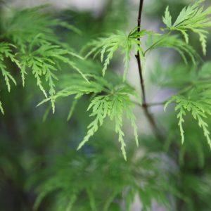 acer palmatum dissectum viridis tree