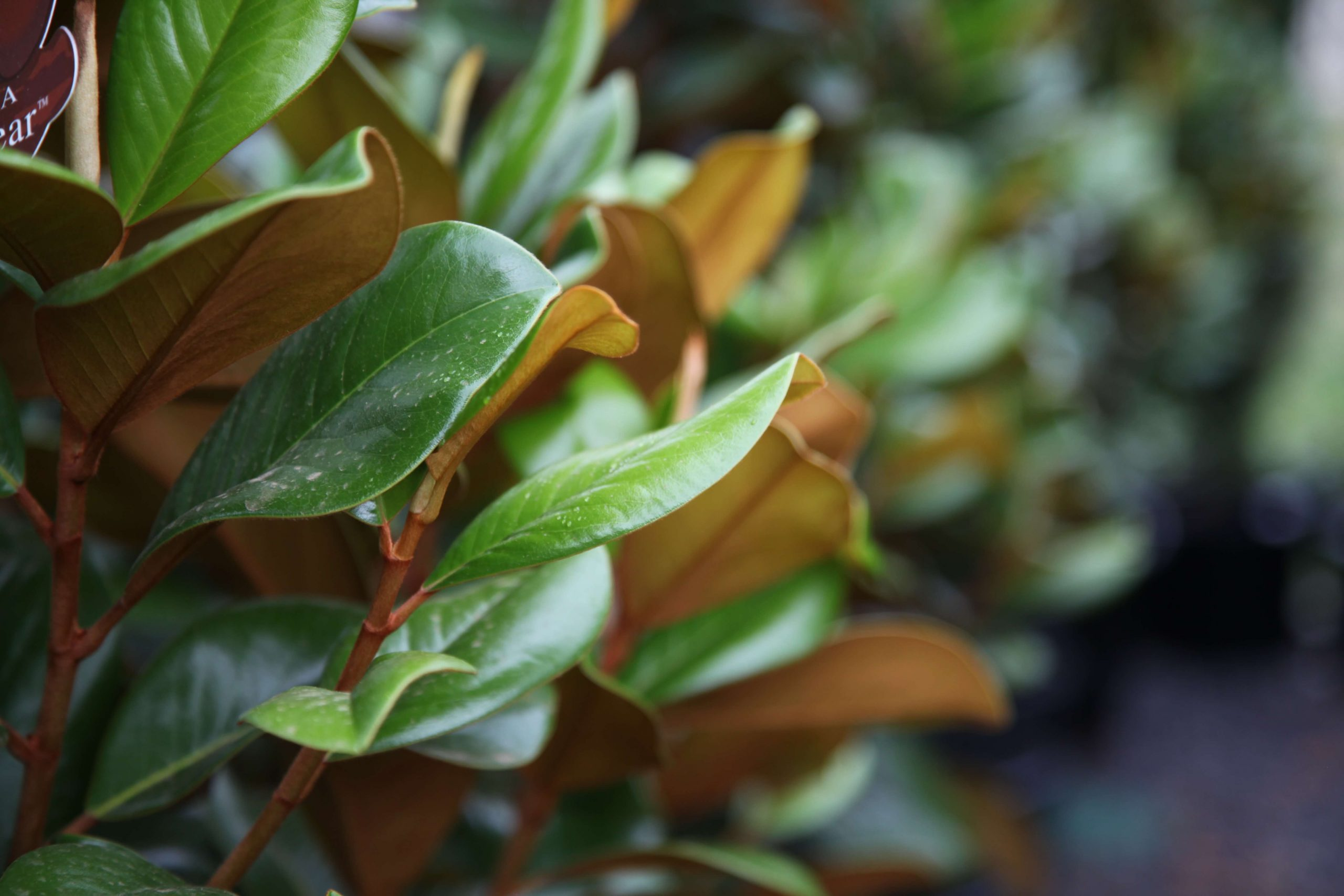 Evergreen Trees and Plants Melbourne