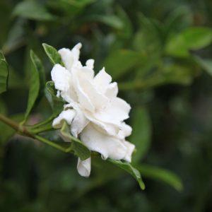 Gardenia Florida