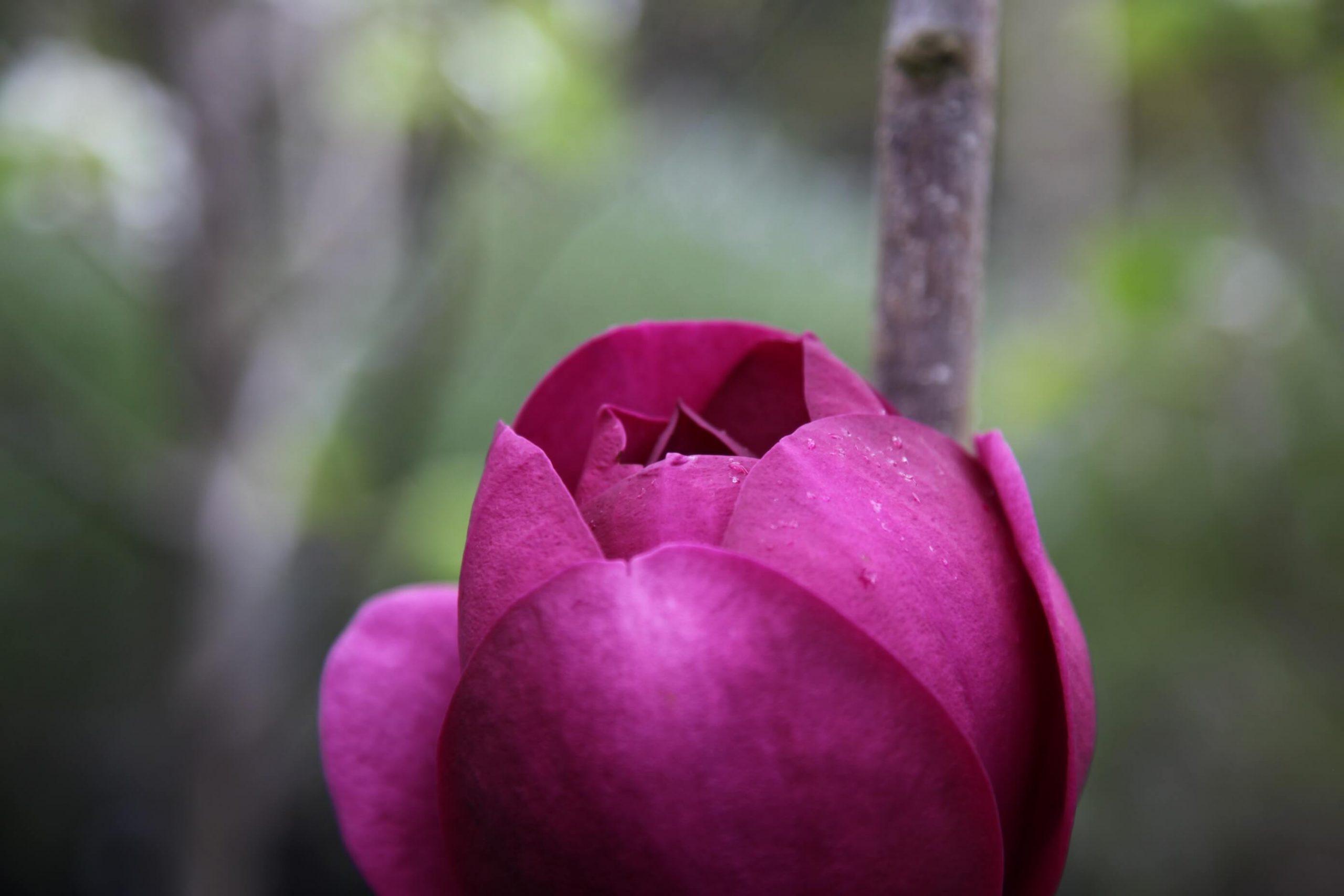 magnolia black tulip