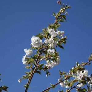 Prunus Mt Fuji