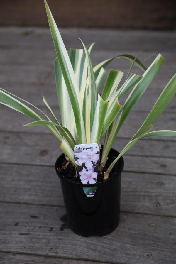 Iris japonica Variegated