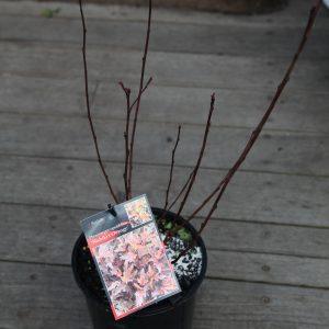 physocarpus nishiki orange