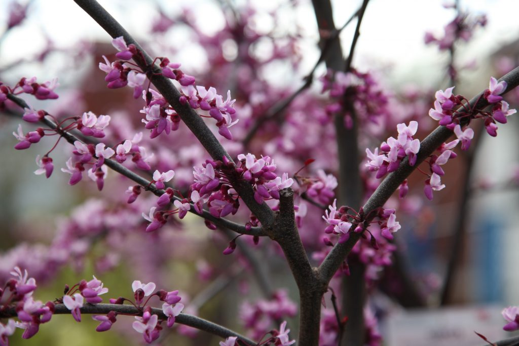 Cercis, Forest Pansy