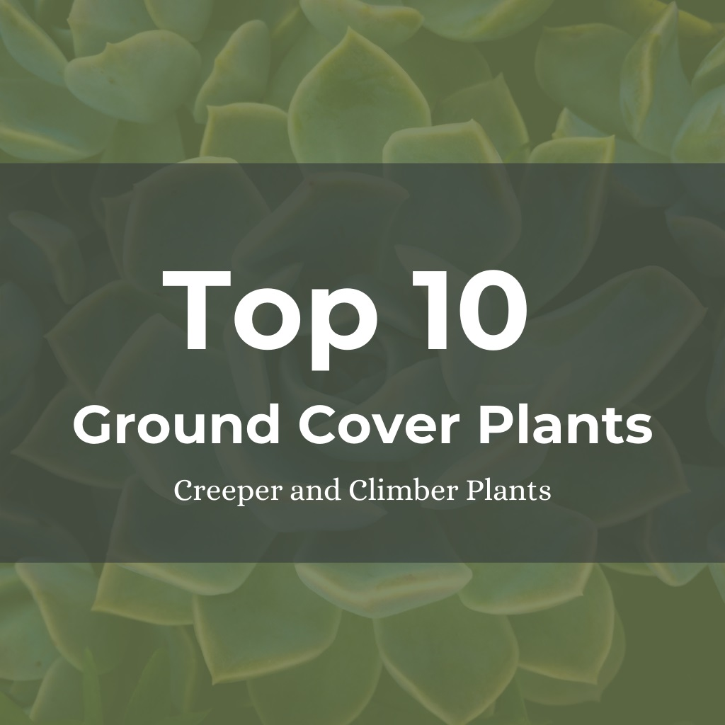Top ten Ground Cover Creeper and Climber Plants