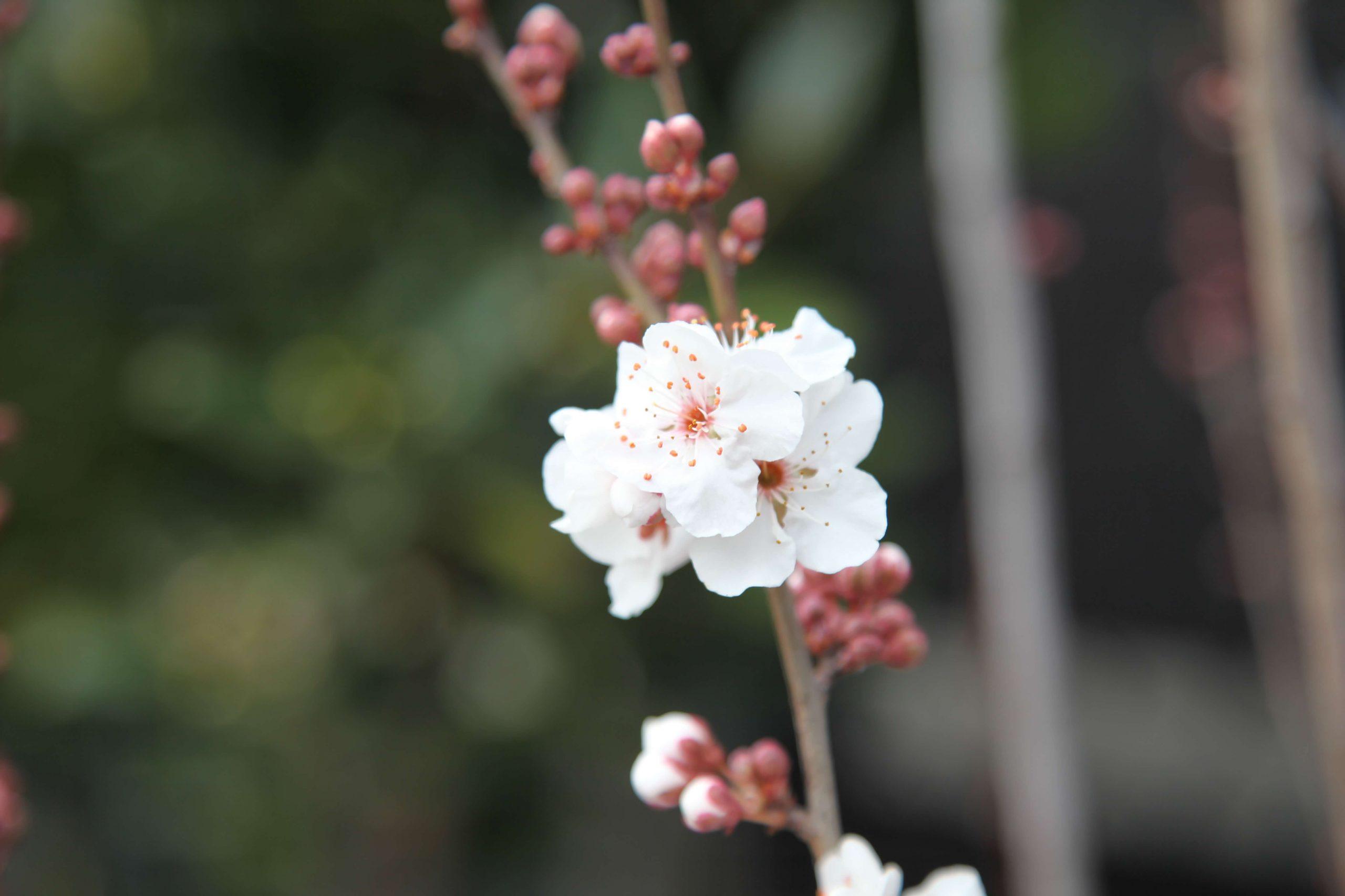 Prunus Snofozam